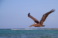 A Wild Pelican Looking For Som...
