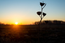 Dried Thistle At Sunrise