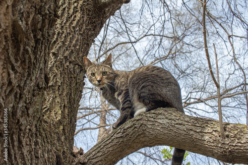 Close up view of a curious gray and brown striped tabby cat exploring a mature tree limb on a sunny day