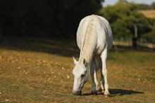 The Lipizzan, Or Lipizzaner Is...
