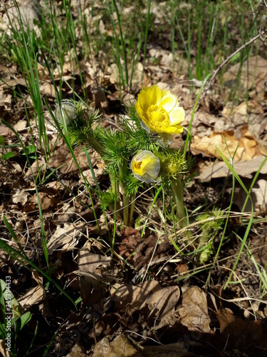 Photo Blooming flower and buds of Spring Adonis