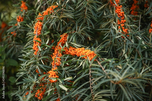 background of a bush of ripened sea buckthorn Tablou Canvas