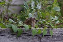 Chipmunk On Garden