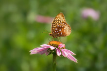 Great Spangled Fritillary Butterfly On Purple Echinacea Coneflower