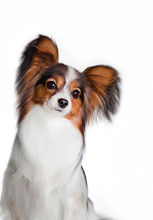 Dog Papillon, Portrait With A ...