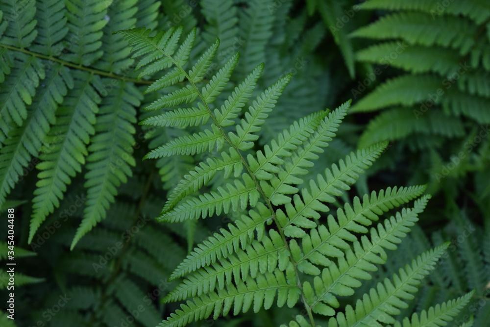 Fototapeta Zielony liść paproci pośród innych liści paproci