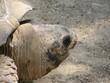 Głowa żółwia w dużym powiększeniu