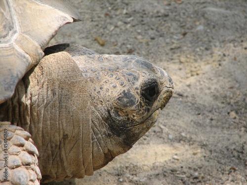 Głowa żółwia w dużym powiększeniu - fototapety na wymiar