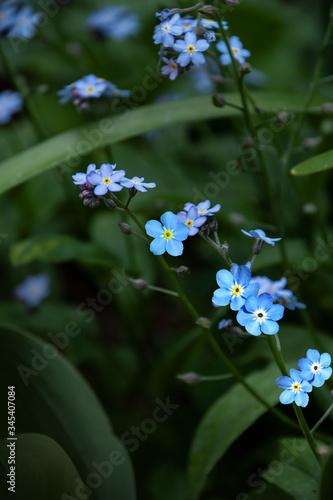 Fotografija Broadleaf forget-me-not flowers, scorpion grasses, remember-me, Myosotis Latifolia