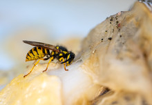 Yellow Jacket Or Vespula Vulgaris, Is An Insect That Is Plague In Several Countries, It Has Very Powerful Jaws Capable Of Cutting Fibrous Pieces Of Food