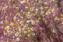 Flowering. Chamomile. Blooming...