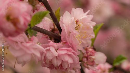 Obraz wiśnia kwiat - fototapety do salonu