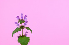 Close-up Of A Wild Violet Flowers Spotted Dead-nettle Or Spotted Henbit Isolated On A Pastel Pink Background, Scientific Name Lamium Maculatum