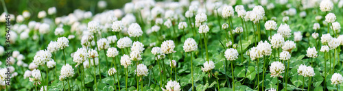 Fotografia Panoramic view of white clover flowers on green color bokeh background