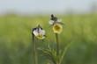Fiołek polny - Viola arvensis