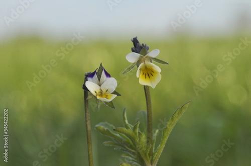 Fototapeta Fiołek polny - Viola arvensis obraz