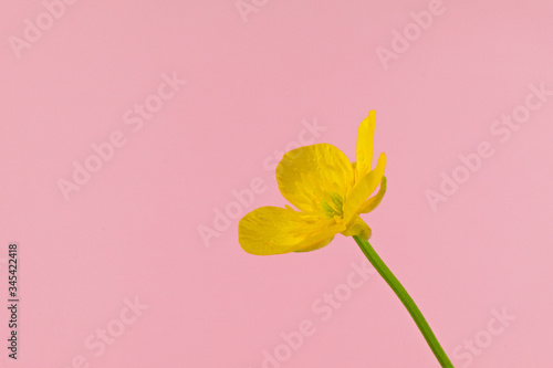 Photo Close up of a wild flower meadow buttercup, scientific name Ranunculus acris, is