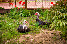 Farm Breeding Poultry. In The Frame On The Grass 2 Black Ducks - Male And Female. Horizontal Frame. Color Image. Ukraine. Cherkasy Region.
