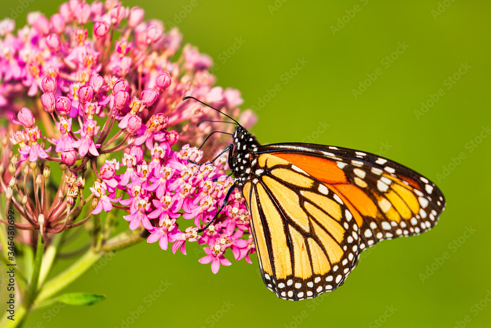 A Monarch Butterfly in a park in Toronto, Canada