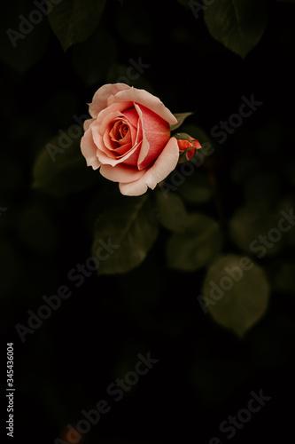 pink rose dark background