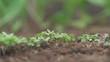 Vegetables plants growing in raised garden bed RACK FOCUS