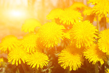 Spring Dandelion Flowers As A ...