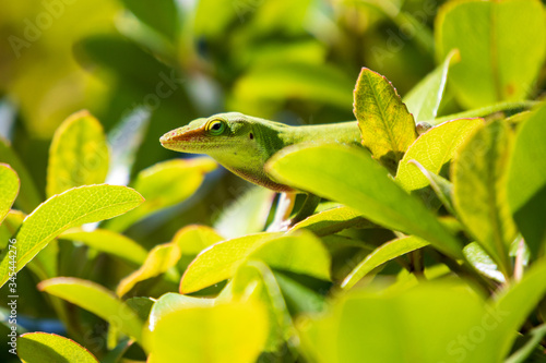 Green Anole Lizard resting in bushes, selective focus Canvas Print