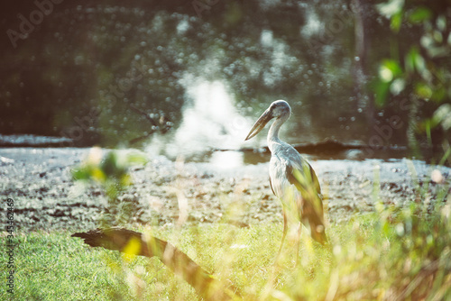Asian openbill stork at tropical forest,Lesser adjutant in beautiful nature Canvas Print