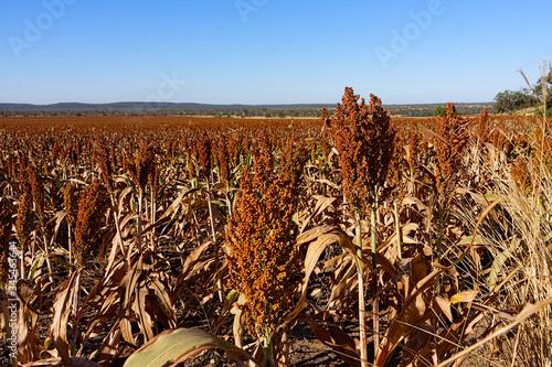 Photo Large acreage of sorghum ready to harvest