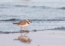 The Piping Plover (Charadrius Melodus) In Galveston, Texas