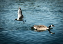 Closeup Shot Of A Duck Swimming In The Lake And A Gull Flying Away