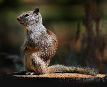 Ground Squirrel On A Stump