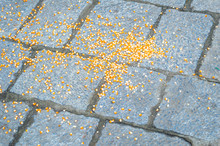 Corn Maize Grains Dropped On A Stone Floor For Animals To Eat