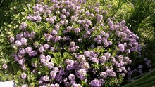 Wide Shot Of Bees Flying On Thyme Plants For Pollination