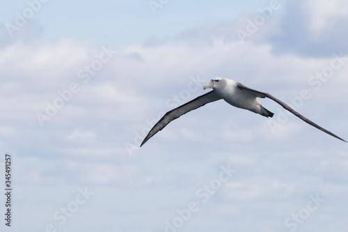 Fotografija Shy Albatross (Thalassarche Cauta), Tasmania, Australia