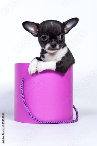 Photo Close-up image of a Chihuahua dog sitting in a pink gift box, Valentine's Day, a