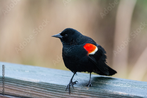 Red-winged blackbird on railing Canvas Print