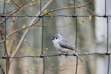Tufted Titmouse Sitting On Wir...