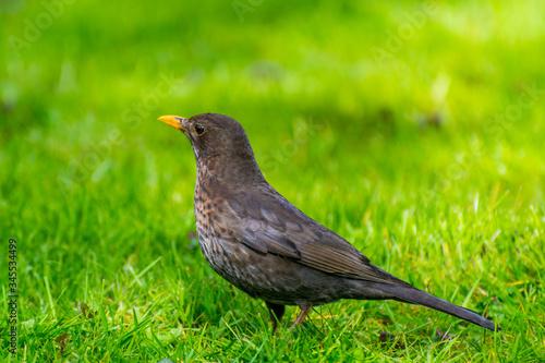 Photo Turdus merula, or Eurasian blackbird, or the common blackbird,  a species of true thrush