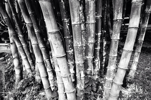 Fotografia Bamboos Growing In Forest