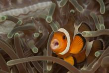Close-up Of Clown Fish Swimming In Sea