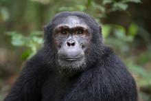 Portrait Of Wild Chimpanzee Pr...