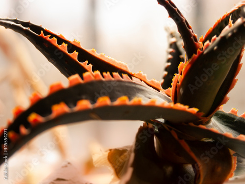 Photo Succulent plant hybrid Aloe Rauhii on windowsill against of window with wrought-iron grating