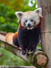 An Adorable Red Panda (lesser ...
