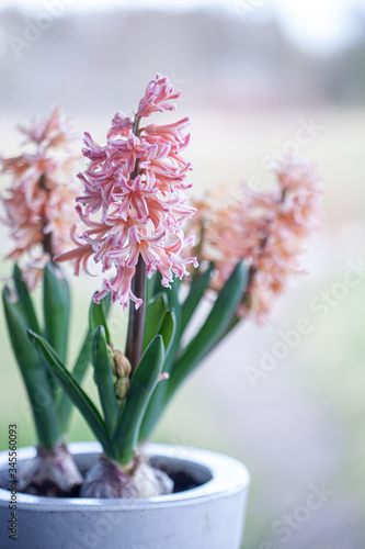 canvas print motiv - Kati Finell : Spring hyacinth in pastel peach color