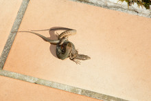 Lizard Are Breeding Two Lizards Fight Outdoor Terrace In Spring Mating Behavior Fighting