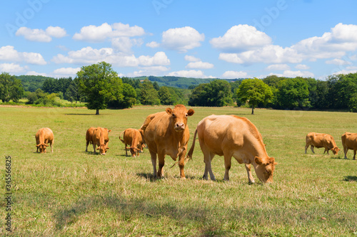 Foto Limousine cows in France