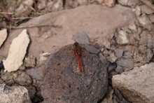 Stock Photo Of Sympetrum Fonscolombii, Red Dragonfly In Its Natural Environment With Brown Soil And Rock Details.