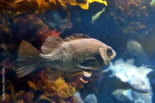Valokuva 波に揉まれながら水中を泳ぐクロメバル(日本の新江ノ島水族館)