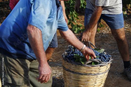 Stampa su Tela Grape harvesting in the Salento countryside